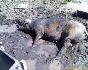Happy pig wallowing 1